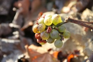 Uvas en los viñedos de Bodegas Habla. Blog Esteban Capdevila
