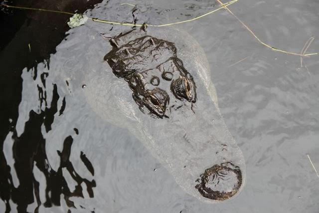 Cocodrilos en los Everglades de Miami. Blog Esteban Capdevila