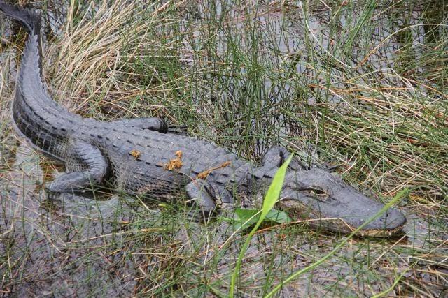 Cocodrilo de los Everglades en Miami. Blog Esteban Capdevila