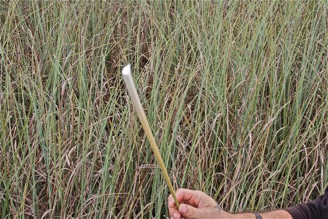 Typha en los Everglades. Blog Esteban Capdevila