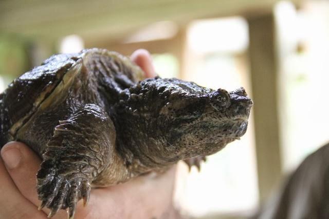 Tortuga caiman. Blog Esteban Capdevila