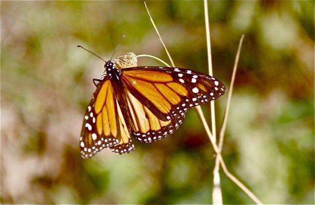 Mariposa-emperador-blog-esteban-capdevila